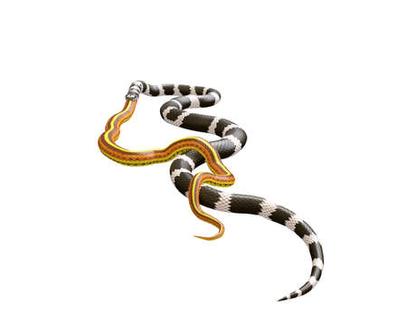3D Illustration of a California King Snake Swallowing a Yellow Snake Stock Photo