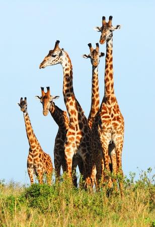 Familie van giraffen in de Masai Mara Reserve (Kenia) Stockfoto