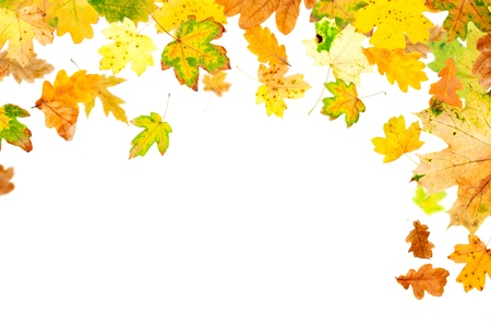 withering: Falling oak and maple leaves on white background Stock Photo