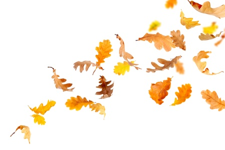 dry leaves: Autumn oak leaves falling and spinning isolated on white Stock Photo