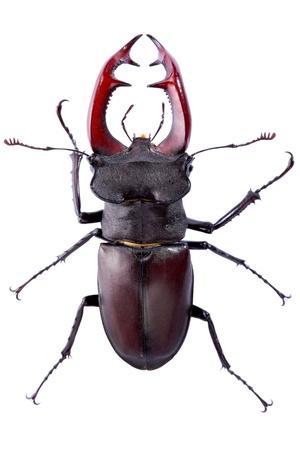 Stag beetle (Lucanus Cervus) on the white background