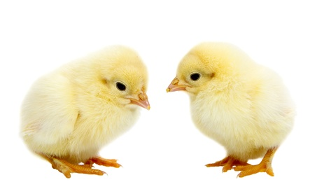 baby chick: Two baby chickens isolated on white Stock Photo