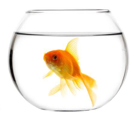 peces de colores: Peces de oro aislado en un fondo blanco