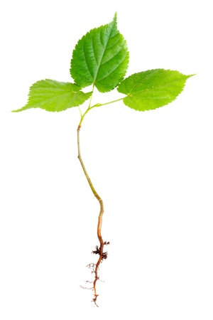 planta con raiz: �rbol joven con ra�ces aisladas en blanco