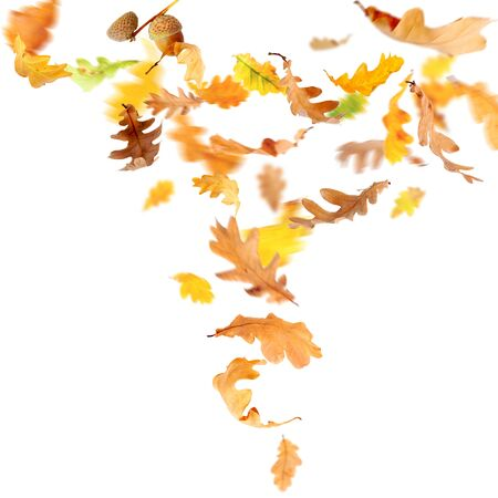 falling leaves: Autumn oak leaves falling and spinning isolated on white Stock Photo