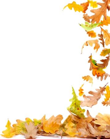 bladeren: Vallende herfst eiken bladeren op wit wordt geïsoleerd