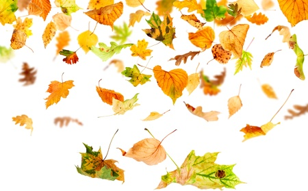 dry leaf: Autumn leaves falling and spinning isolated on white background Stock Photo