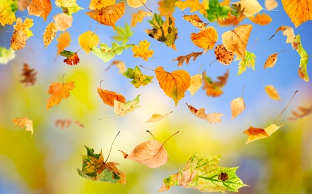 falling leaves: Autumn leaves falling and spinning against the blue sky