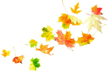 leaf close up: Autumn Leaves falling and spinning isolated on white