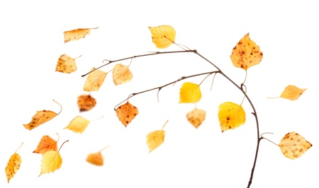 Branch of birch and falling leaves  isolated on white