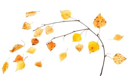 Rama de abedul y las hojas que caen aislados en blanco