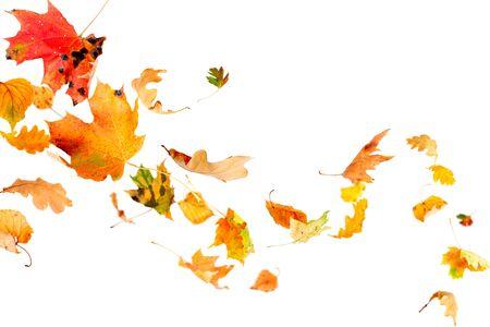 hojas secas: Multi color hojas cayendo y giro aisladas sobre fondo blanco