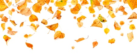 withering: Autumn leaves falling and spinning isolated on white background Stock Photo