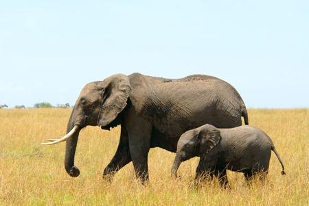 elefantes: Caminando la madre y el bebé elefantes africanos (de la Reserva de Masai Mara, Kenia)