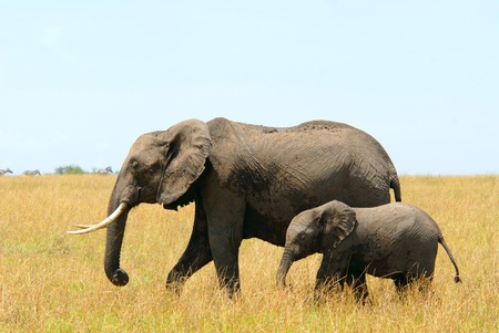 Walking african elephants mother and baby (Masai Mara Reserve, Kenya) photo