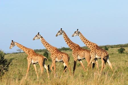 Groep van giraffen in de Masai Mara Reserve (Kenia)
