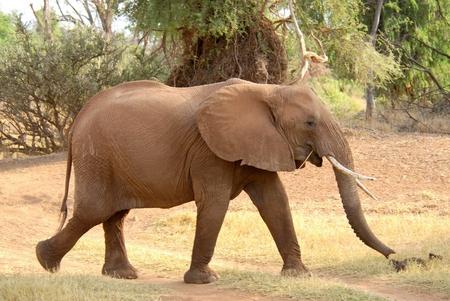 samburu: Walking african elephant (Samburu Reserve, Kenya) Stock Photo