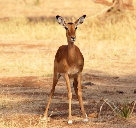 samburu: Female Impala in  the Samburu Reserve (Kenya) Stock Photo