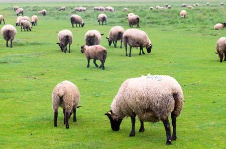 suffolk: Suffolk Sheep on the landscape taken near Mont Saint Michel, France