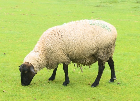 suffolk: Sheep on the grass taken near Mont Saint Michel, France