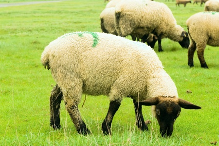 suffolk: Young sheep on the grass taken near Mont Saint Michel, France Stock Photo