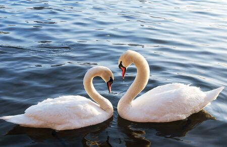 amore: Swans