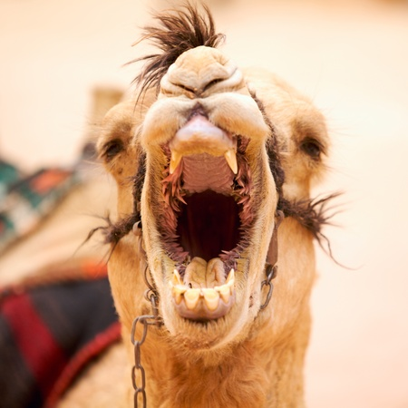 of petra: Yawning camel in Petra, Jordan Stock Photo