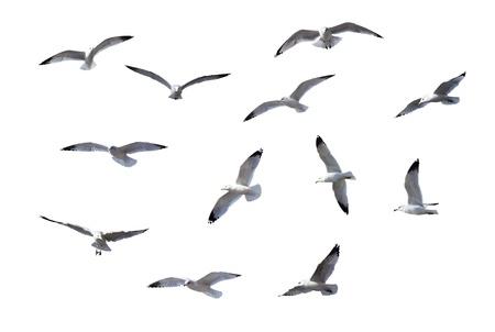 pajaros volando: Gaviotas volando sobre fondo blanco Foto de archivo