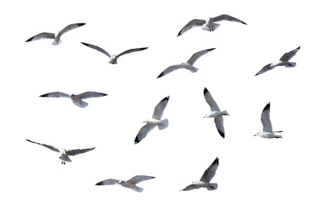 vol d oiseaux: Mouettes de vol isol� sur fond blanc