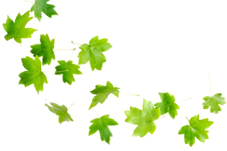 maple leaf: Green maple leaves falling and spinning isolated on white