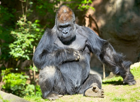 silverback: Male silver-back gorilla sitting on a grass