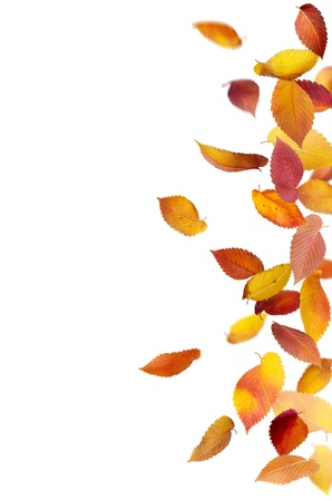freefall: Colorful autumn leaves falling and spinning isolated on white Stock Photo