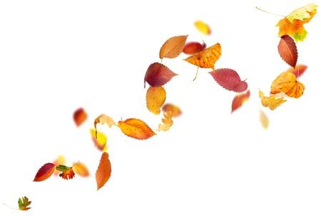 hojas secas: Colorido oto�o las hojas cayendo y girando en el viento sobre fondo blanco