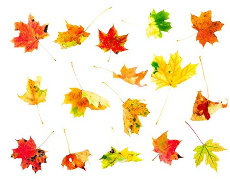 withering: Multi colored fallen autumn maple leaves set isolated on white