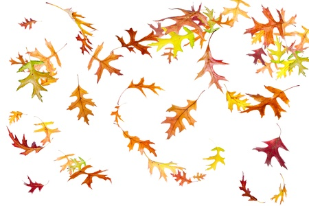 falling leaves: Autumn leaves falling and spinning in wind isolated on white