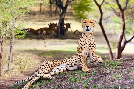 jubatus: Lying Cheetah  Acinonyx jubatus
