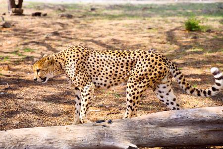 jubatus: Walking Cheetah  Acinonyx jubatus