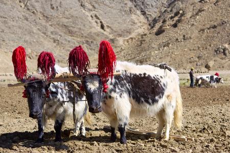 himalaya: Tibetan yaks in farmland