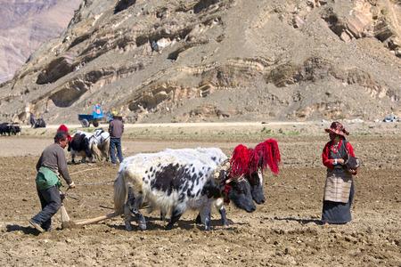 plough: Gyangze area, Tibet, China - May 14, 2014:  Unidentified Tibetan farmers plough by draught yaks on farmland.