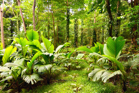 rain forest background: Tropical rain forest in Mahe Island, Seychelles