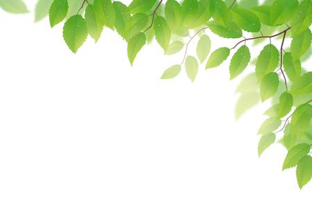 Fresco di faggio foglie verdi su sfondo bianco