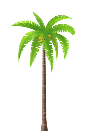 Coconut palm tree on white background