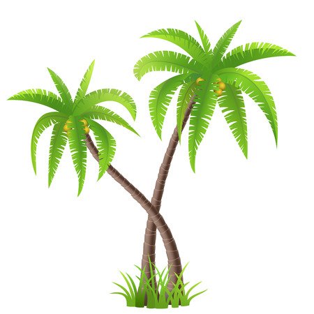 Two coconut palm trees isolated on white, vector illustration Çizim