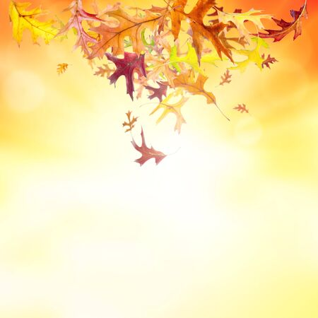 Autumn nature background with falling oak leaves