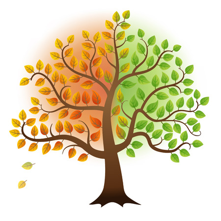 autumn tree: From summer to autumn tree with green and yellow leaves