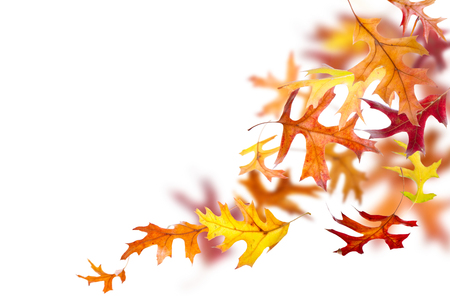 Autumn oak leaves falling and spinning isolated on white background