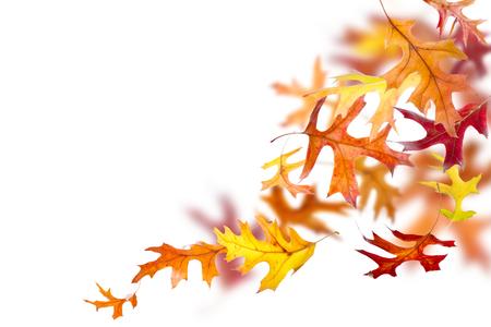 Hojas de roble otoño cayendo y girando sobre fondo blanco