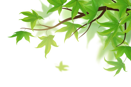 frond: Spring frond with green maple leaves on white background