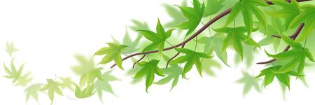Rama de primavera con el arce hojas verdes en blanco