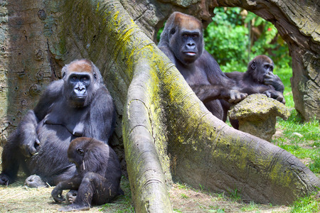 silverback: Group of mountain gorillas with babies Stock Photo